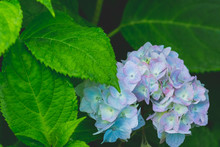 Beautiful Blue Hydrangea Or Hortensia Flower Close Up. Artistic Natural Background. Flower In Bloom In Spring.Flowers In The Garden. A Bouquet Of Hydrangea.