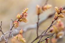 Blooming Sweetgale, Myrica Gale