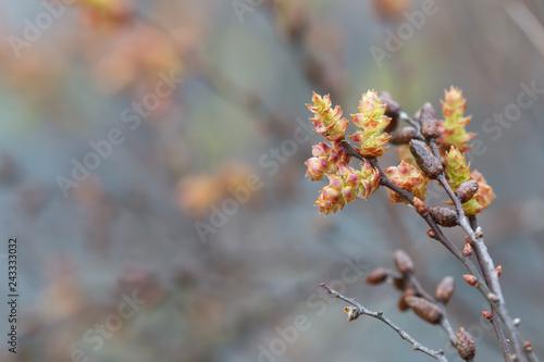 Blooming sweetgale, Myrica gale Fototapet
