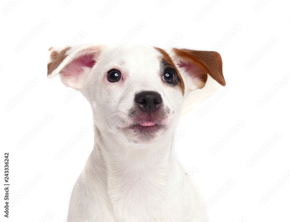 Fototapety, obrazy: Jack Russell Terrier close up portrait