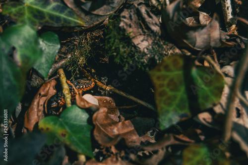 Fotografie, Obraz  Close-up of a newt