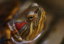 Red-eared Turtle (Trachemys Sc...