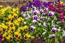 Colorful Pansie Flowers In Flo...