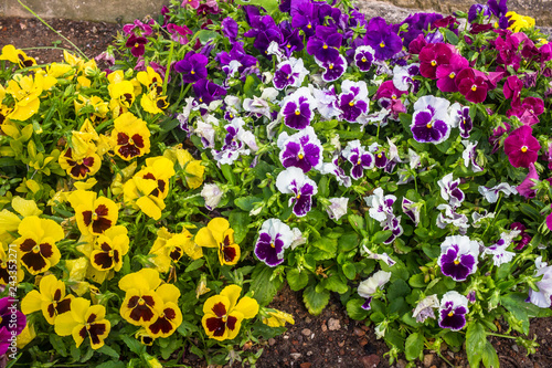 Colorful Pansie flowers in flower bed with dew drops on petals