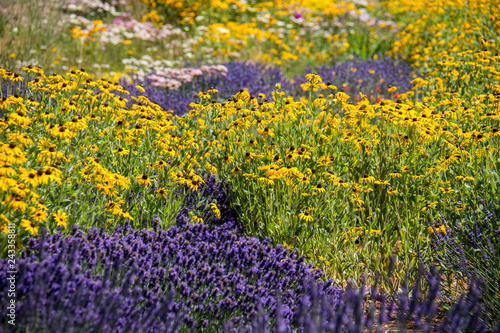 Fényképezés  Lavender and black eyed susan daisies wildflowers in a meadow on a sunny day