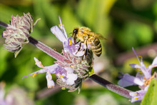 Honey Bee Gathering Nectar From Cleveland Sage (Salvia Clevelandii) Flowers In Spring, California