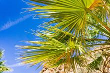 Fan Palm Tree (Washingtonia Filifera) Detail In The Lost Palms Oasis, A Popular Hiking Spot, Joshua Tree National Park, California
