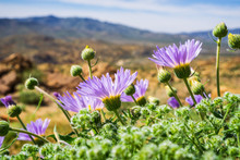 Mojave Aster (Xylorhiza Tortifolia) Wild Flowers Blooming In Joshua Tree National Park, California