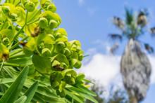 "Euphorbia Characias ""Wulfenii"" Flowering Ornamental, California"