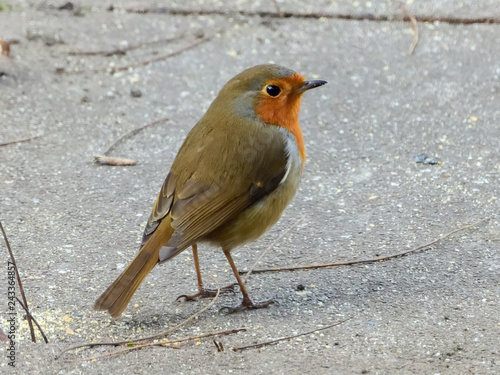 Photo  Robin feeding