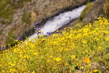 Goldfield Wildflowers On The H...