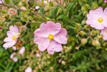 Pink Rock-Rose Flowers (Cistac...
