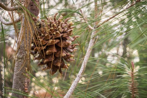 Fotografie, Obraz  Close up of Gray Pine (Pinus Sabiniana) cone and needles, tree endemic to Califo
