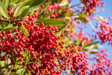 Bright Red Toyon (Heteromeles)...