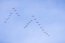 Snow Geese Flying In A V Formation Above The Plains Of Sacramento Valley, Sacramento National Wildlife Refuge, California