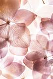 Fototapeta Kwiaty - pink hydrangea flowers on the white background. floristic concept