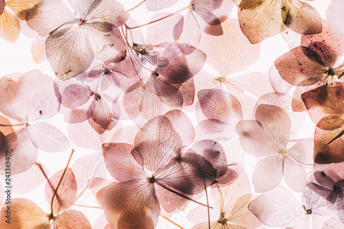 pink hydrangea flowers on the white background. floristic concept