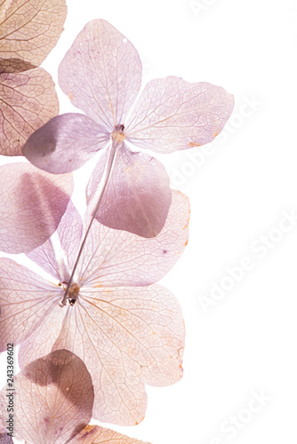 Foto pink hydrangea flowers on the white background. floristic concept