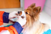 A Emergency Veterinarian Treats With Medical Equipment A Little Shetland Sheepdog