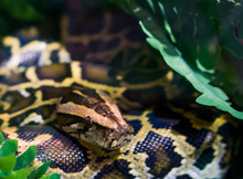 Coiled Burmese Python With His Face In Closeup, Tropical Snake From Asia, Vulnerable Species