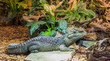 dwarf caiman crocodile laying on a stone, tropical reptile from America