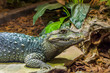 closeup of dwarf caiman alligator sitting on a stone, tropical reptile from america