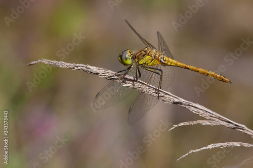 Red-veined darter Fototapet