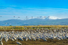 Common Crane Birds In Agamon Hula Bird Refuge, With Mount Hermon