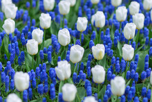 White Tulips And Blue Grape Hyacinths (muscari Armeniacum) In A Park. Selective Focus.