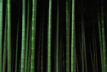Bamboo Trees Growing In Forest...