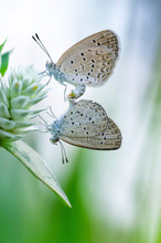 Close-up Of Butterflies Mating...