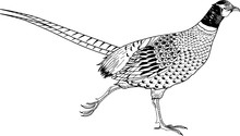 Ring Necked Pheasant Vector Il...