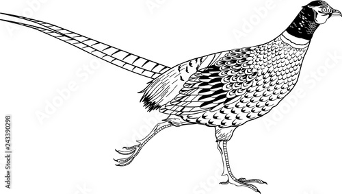 Fotografia Ring Necked Pheasant Vector Illustration