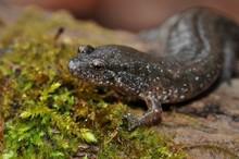 Northern Dusky Salamander Portrait