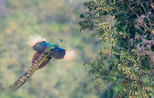 The Peacock Is Flying To The Tree.
