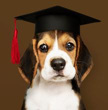 Cute Beagle Puppy In A Graduation Cap