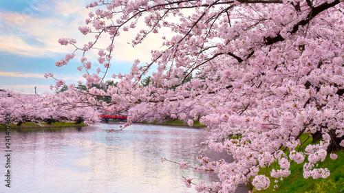 Fototapeta premium Pełny kwiat Sakura - wiśniowy kwiat w parku Hirosaki w Japonii
