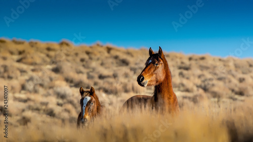 Photo  A mustang mare and her in the high desert
