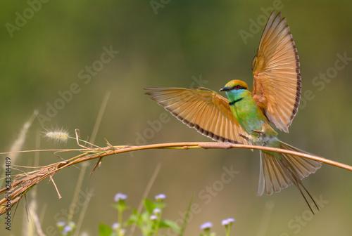 Fotografie, Obraz  Green Bee-eater