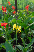 Majestic Yellow Canna Lilies In An Outdoor Park