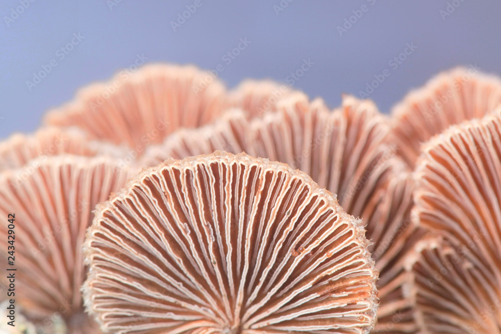 Fototapeta Gillies, Split Gills or Split gill, Schizophyllum commune, is an important medicinal mushroom with antiviral properties