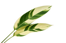 Heliconia Variegated Foliage, Exotic Tropical Leaf Isolated On White Background, With Clipping Path