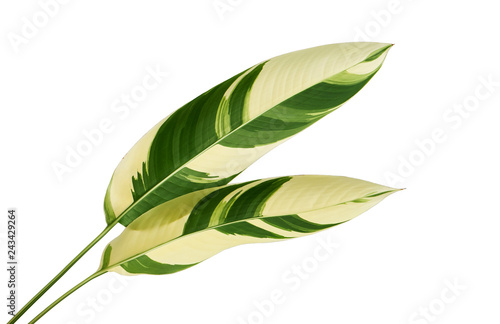 Poster Vegetal Heliconia variegated foliage, Exotic tropical leaf isolated on white background, with clipping path