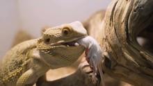 Bearded Agama Eat Mouse