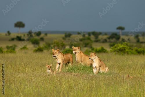 Carta da parati Three lioness and cub, Maasai Mara, Kenya, Africa.