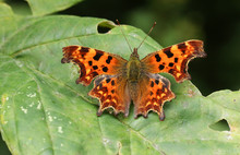 A Beautiful Comma Butterfly (P...