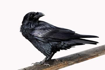 Raven On White Background