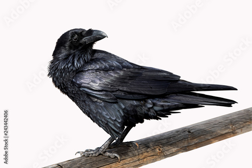 Photo Raven On White Background