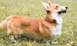 Corgi for a walk in spring park on a background of green grass