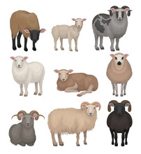 Flat Vector Set Of Cute Sheeps...